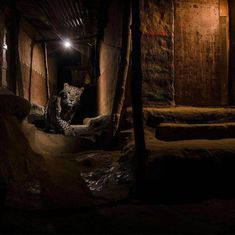 Nayan Khanolkar's photograph of a leopard in Mumbai's Aarey milk colony wins international award
