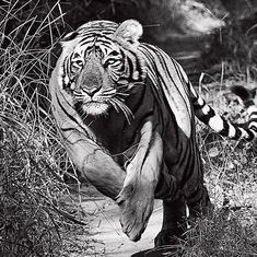 How Valmik Thapar came to know the tigress queen Padmini and her cubs