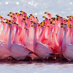 How ice-skating flamingos collectively get 'in the mood' for sex