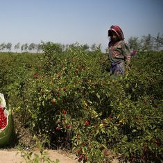 In this Pakistan village, chillies aren't just a matter of taste, but also of survival