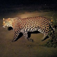 Animals in the city: What the sighting of a leopard in Delhi really tells us