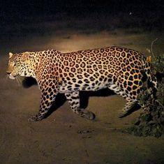 Gurugram: Leopard enters Maruti Suzuki plant in Manesar