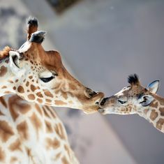Giraffe population has dropped 40% in 30 years, finds IUCN-Red List report