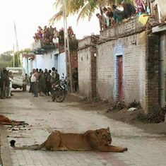 Watch a lioness prowl the streets of a village near Gir forest