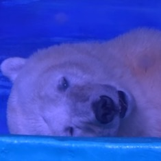 What the story of world's saddest polar bear, Pizza, tells us about our relationship with wildlife