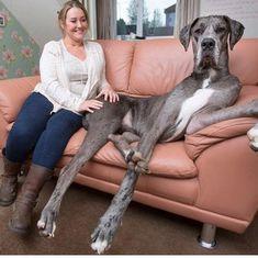 दुनिया के सबसे विशाल कुत्ते का रिकॉर्ड फ्रेडी के नाम दर्ज हो गया है