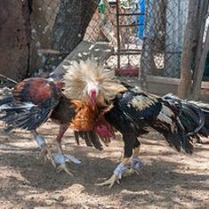 Cockfighting to remain banned in Andhra and Telangana, rules Hyderabad High Court