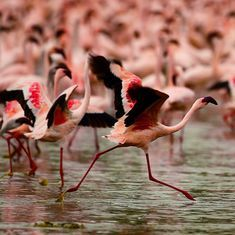 Africa's most toxic lakes are a paradise for fearless flamingos