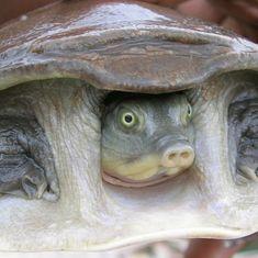 Uttar Pradesh: 6,430 turtles rescued, kingpin of reptile smuggling racket arrested