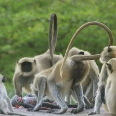Watch: Langurs in Rajasthan were moved to grief when they found BBC's baby robot monkey 'dead'