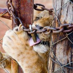 Video: Unbelievably, lions in South Africa are commercially bred for hunting and for selfies
