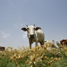 Research papers said cows exhale oxygen, insists Rajasthan minister after being ridiculed