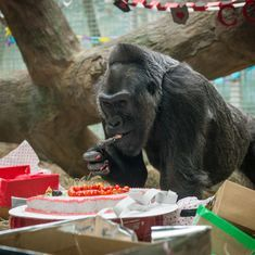 Colo, world's oldest gorilla in captivity, dies at 60