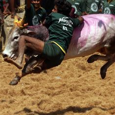 The jallikattu Ordinance is a face-saving political ploy – the ban has sound constitutional backing