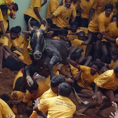 Jallikattu: Spectator gored to death while watching bull-taming sport in Tamil Nadu's Pudukottai