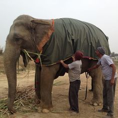 Fundraising photo-op over, Mathura elephants wrap up snug in their regular (more staid) winter wear