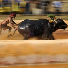 Kambala ban: Karnataka readies Bill to bring back buffalo racing