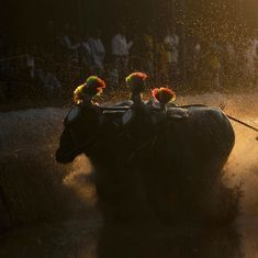 Buffalo racing sport kambala is now legal in Karnataka
