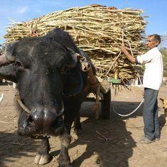 क्या मोदी सरकार का चीनी पैकेज पश्चिमी उत्तर प्रदेश में भाजपा की सियासी जमीन बचाने की कोशिश है?