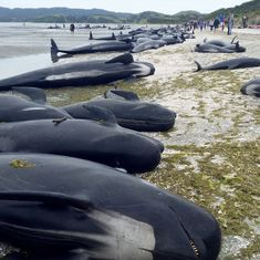 New Zealand: Hundreds of whales die in mass beaching, volunteers race to save the surviving ones