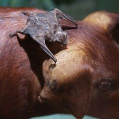How we discovered the vampire bats that have learned to drink human blood