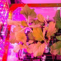 Astronauts aboard International Space Station harvest first batch of Chinese cabbage