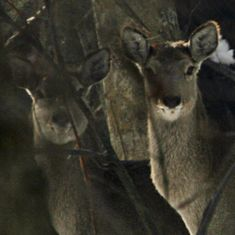 Kashmir has taken a step to conserve its prized Hangul deer. Is it too little, too late?
