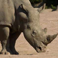 Belgian zoo decides to shorten its rhinos' horns to deter poachers after a killing in France