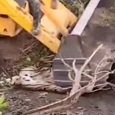 Watch: A tiger is crushed by earth-mover  deployed by Uttarakhand forest officials in capture bid