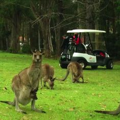Watch: Golfer stumbles upon kangaroos sunbathing and eating grass on the green