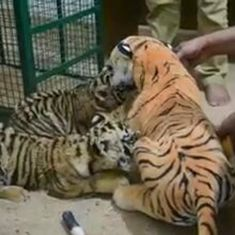 Tiger cub reared by dummy toy mother dies in Madhya Pradesh's Bandhavgarh reserve