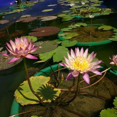 Water lilies: This summer, Delhi's urban gardeners share an obsession with a revered French painter