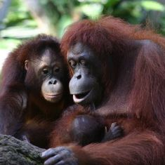 Orangutans have cultural differences and preserving them is key to successful conservation