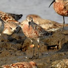 In photos: Tagged migratory birds from Russia spotted again in Mumbai mudflats