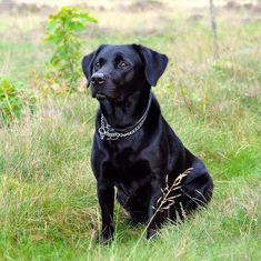 Indians love their Labradors – until they decide to abandon them