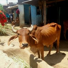 How a smuggling problem on the Nepal border was used to slip in a cattle slaughter ban across India