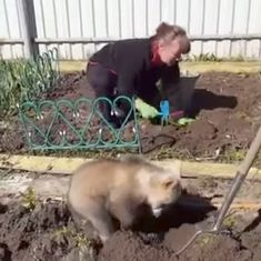Video: Woman finds very helpful (and awfully cute) garden assistant. A bear cub