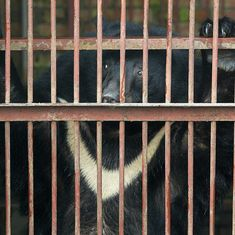 Watch: Thousands of Asian black bears are packed into tiny cages and tortured. This is why
