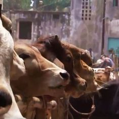Video: Inside the billion-dollar cattle-smuggling racket that thrives between India and Bangladesh