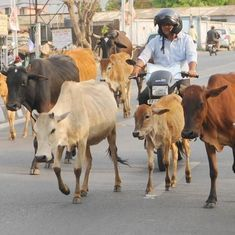 Rajasthan: Two arrested for allegedly killing Muslim man transporting cows in Alwar