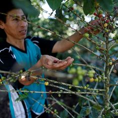 In Peru, growers of 'world's best' coffee are losing ground to the popularity of coca farming