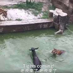 A disturbing watch: Shareholders of Chinese zoo feed live donkey to tigers to protest