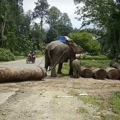 This video of a lactating elephant forced to haul logs in Assam sparks outrage, and an investigation