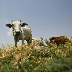 Why eating grass-fed beef isn't going to help fight climate change