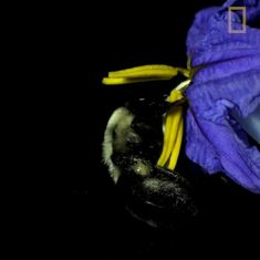 Watch: How the buzz of a bumblebee is actually a superpower