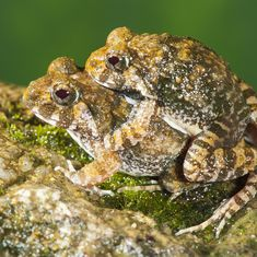 In pictures: Four new species of burrowing frogs discovered in the Western Ghats