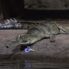 In photos: We're still learning new things about India's endangered gharial