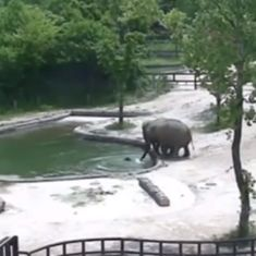 Watch: In a zoo in South Korea, two elephants ingeniously save their drowning calf