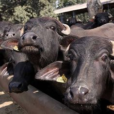 Madhya Pradesh tags 2.5 lakh cattle with unique IDs to ensure safety, increase milk production