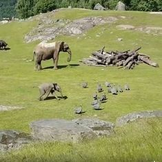 Watch this adorable baby elephant tumble over while chasing birds and running to his mummy